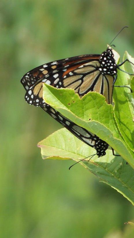 monarch butterflies mating - lower reesor pond park - toronto - ontario