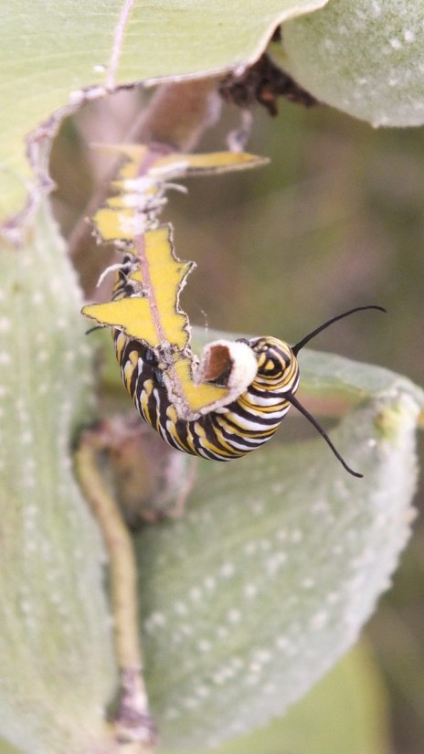 monarch butterfly caterpillar eating milkweed - tommy thompson park - toronto