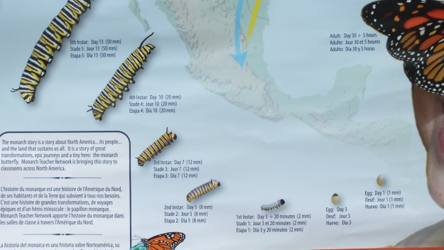 monarch butterfly caterpillar forming chart