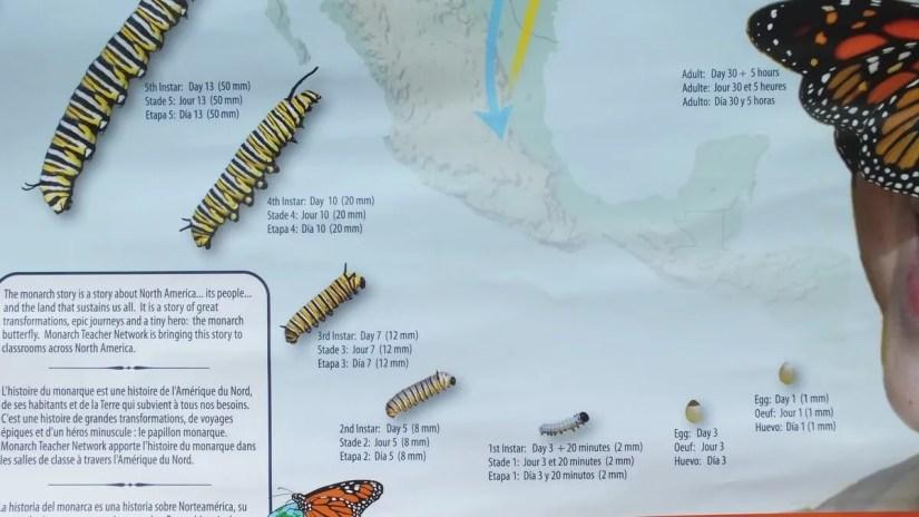 monarch butterfly caterpillar forming chart
