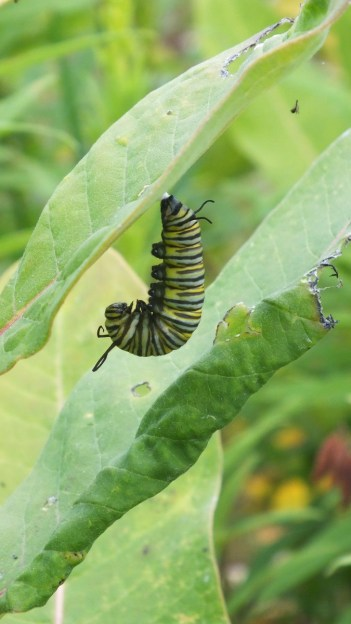 monarch butterfly caterpillar forming chrysalis at tommy thompson park - ontario 2