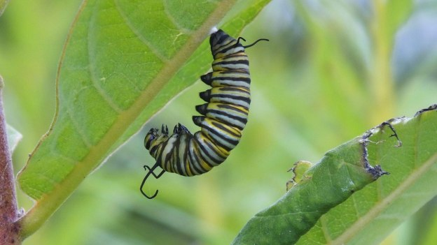 monarch butterfly caterpillar forming chrysalis at tommy thompson park - ontario 4