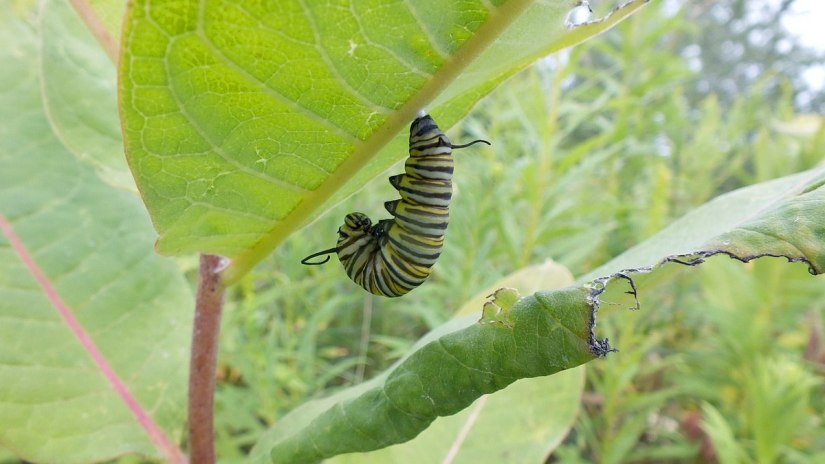 monarch butterfly caterpillar forming chrysalis at tommy thompson park - ontario 6