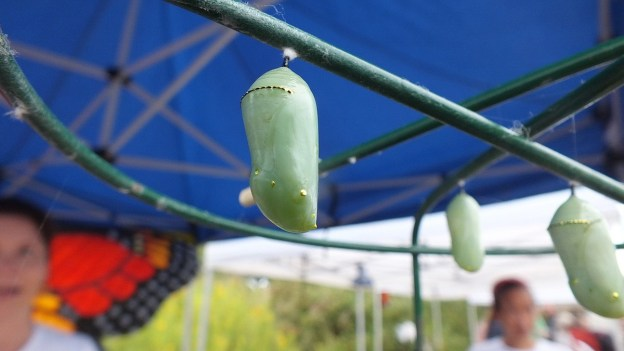 monarch butterfly chrysalis at tommy thompson park - ontario 1