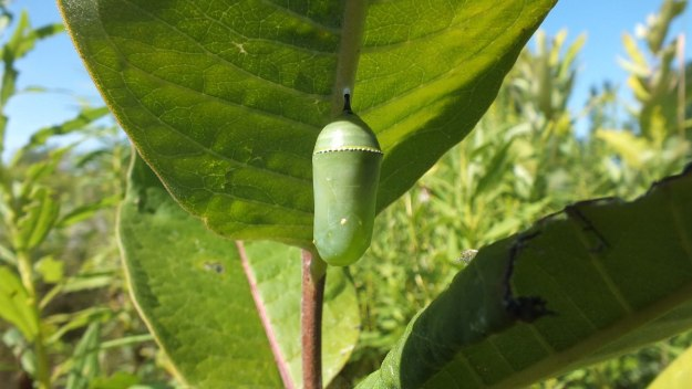 monarch butterfly chrysalis at tommy thompson park - ontario 2