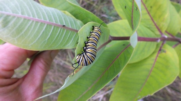 monarch butterfly larvae on milkweed - tommy thompson park - toronto 8