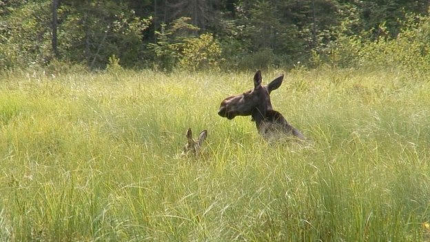 moose in algonquin park swamp - mizzy lake trail 1