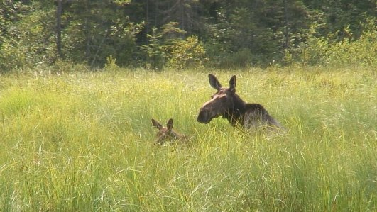 moose in algonquin park swamp - mizzy lake trail 5