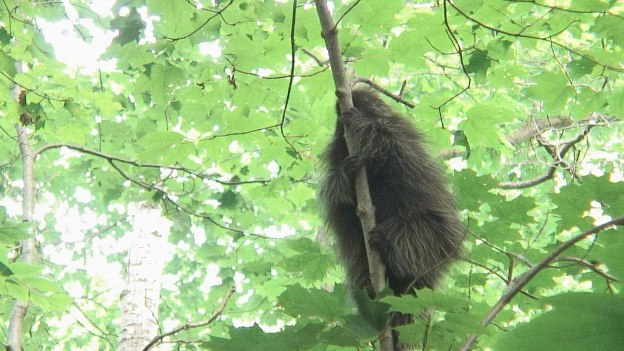 porcupine in forest - dwight - ontario 1