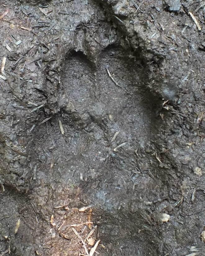 wolf track 2 algonquin park