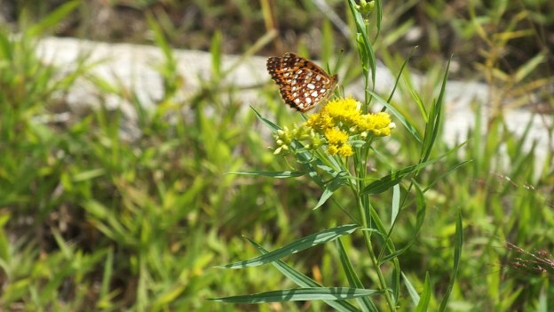 Atlantis Fritillary butterfly - mizzy lake trail - algonquin park - ontario - pic 2