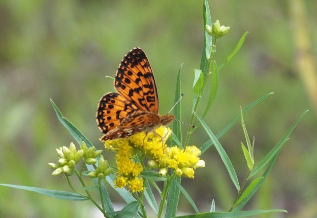 Atlantis Fritillary butterfly - mizzy lake trail - algonquin park - ontario - pic 4