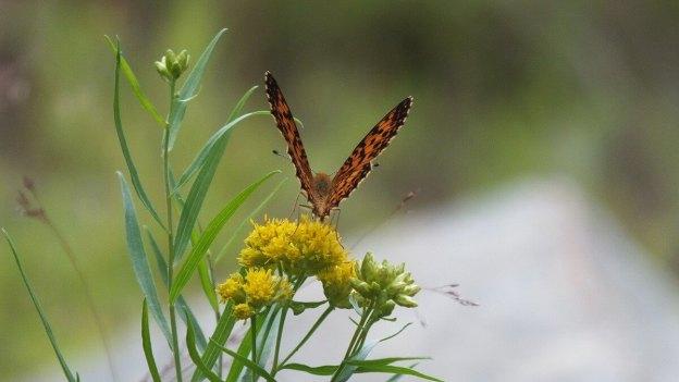 Atlantis Fritillary butterfly - mizzy lake trail - algonquin park - ontario - pic 5