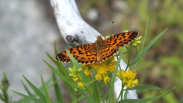 Atlantis Fritillary butterfly - mizzy lake trail - algonquin park - ontario