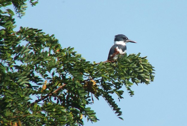 belted kingfisher at col sam smith park - etobicoke - ontario 5