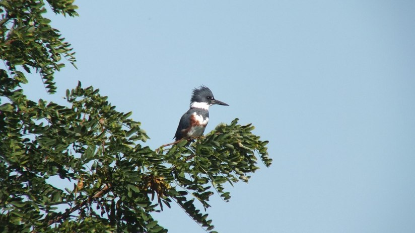 belted kingfisher at col sam smith park - etobicoke - ontario