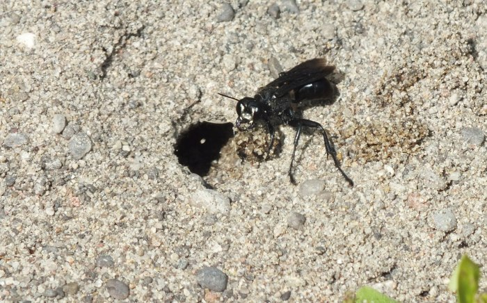 great black digger wasp digs hole - atkinson park wetland, aurora - pic 2