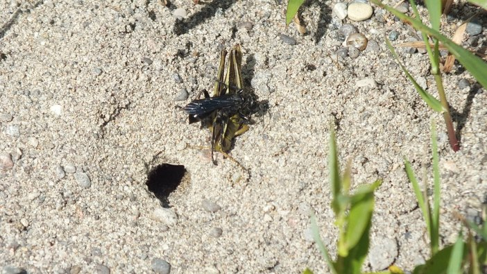 great black digger wasp with grasshopper - atkinson park wetland, aurora - pic 4