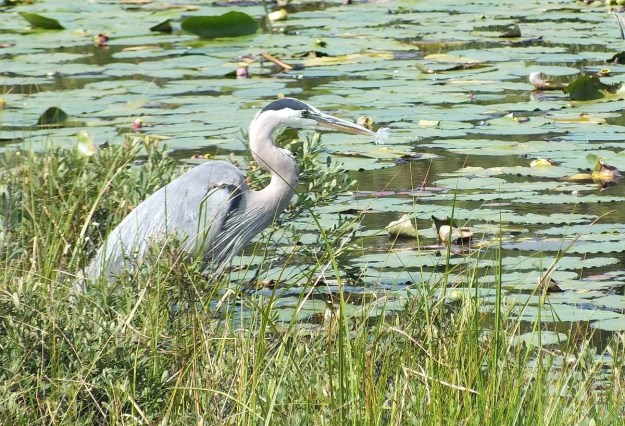 great blue heron along mizzy lake trail - algonquin park - ontario pic 2
