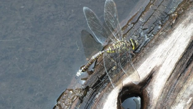 lance-tipped darner dragonfly along mizzy lake trail - algonquin park - ontario pic 2