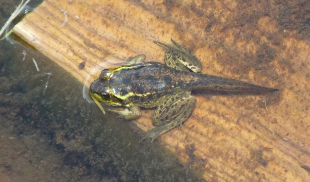 Mink frog with a tail sitting in the water along the Mizzy Lake Trail in Algonquin Park, Ontario
