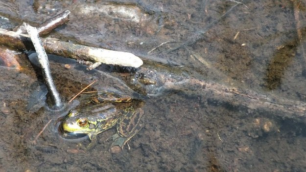 Mink frog sitting along the Mizzy Lake Trail in Algonquin Park, Ontario