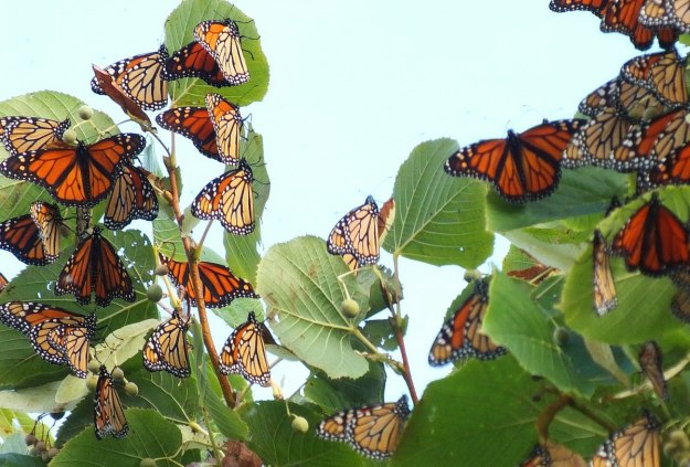 monarch butterflies - tree 3 - at colonel sam smith park - etobicoke - ontario 12