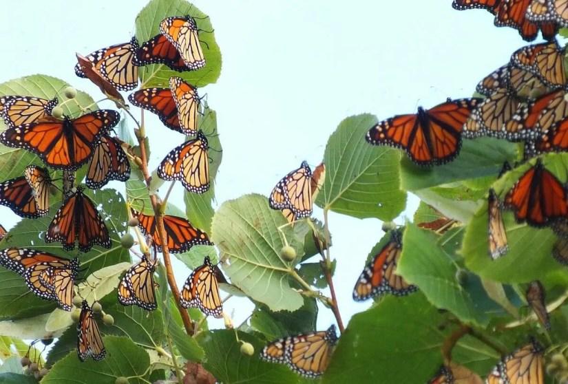 monarch butterflies - tree 3 - at colonel sam smith park - etobicoke - ontario 12