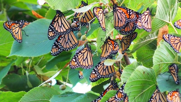 monarch butterflies - tree 3 - at colonel sam smith park - etobicoke - ontario 19
