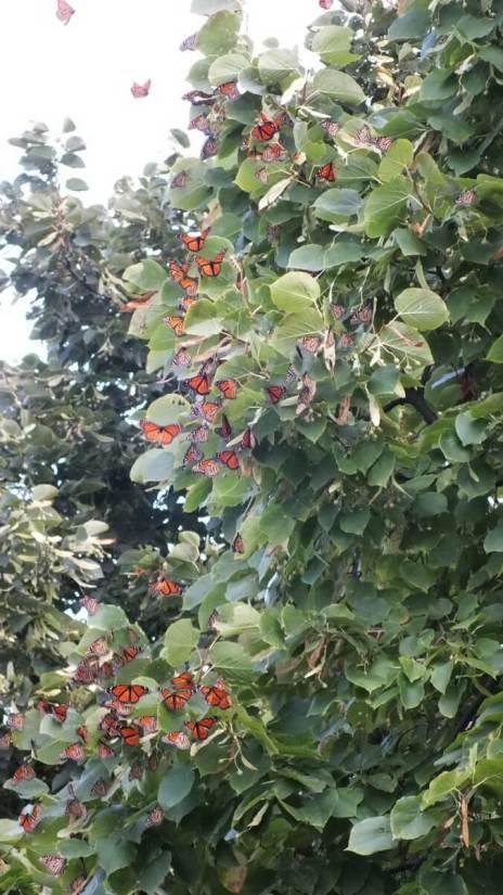 monarch butterflies - tree 3 - at colonel sam smith park - etobicoke - ontario 25