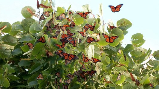 monarch butterflies flutter on a tree
