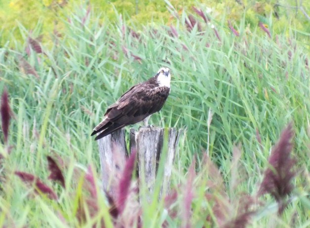 osprey at tommy thompson park - toronto - ontario 4