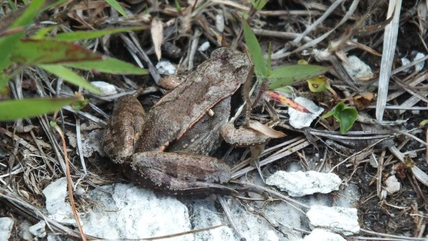 wood frog - mizzy lake trail - algonquin park - ontario 3
