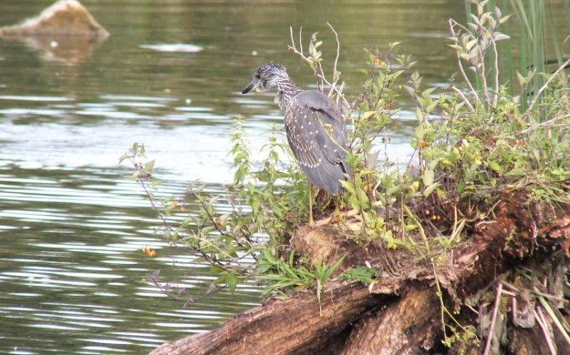 yellow crowned night heron - juvenile - col sam smith park - etobicoke pic 11
