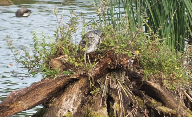 yellow crowned night heron - juvenile - col sam smith park - etobicoke pic 2