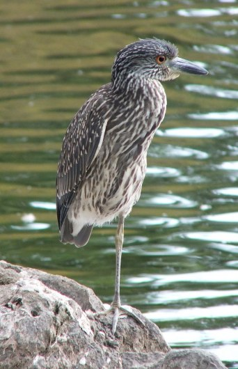 yellow crowned night heron - juvenile - col sam smith park - etobicoke pic 8
