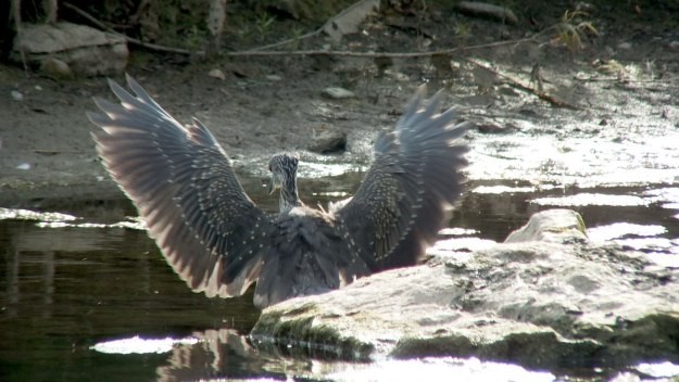 yellow crowned night heron - juvenile - col sam smith park - etobicoke pic 9