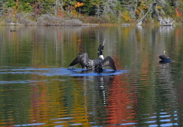 a splash of fall colors and a loon - algonquin park - fall 2014