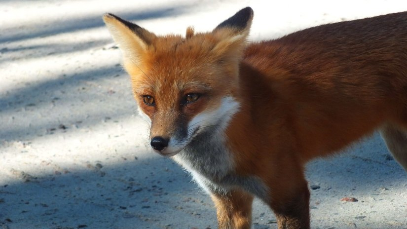 red fox in algonquin park - fall of 2014 - pic 3