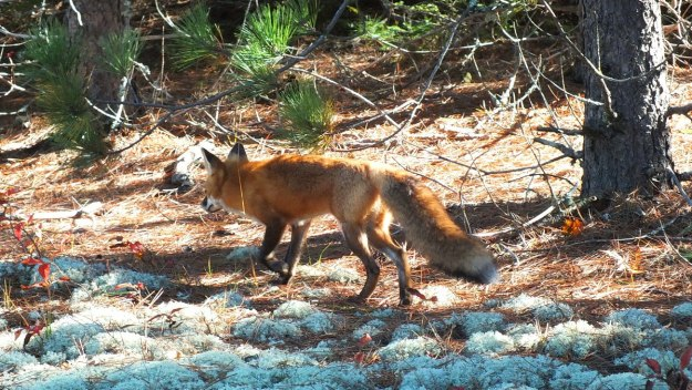 red fox in algonquin park - fall of 2014 - pic 4