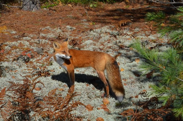 red fox in algonquin park - fall of 2014 - pic 5