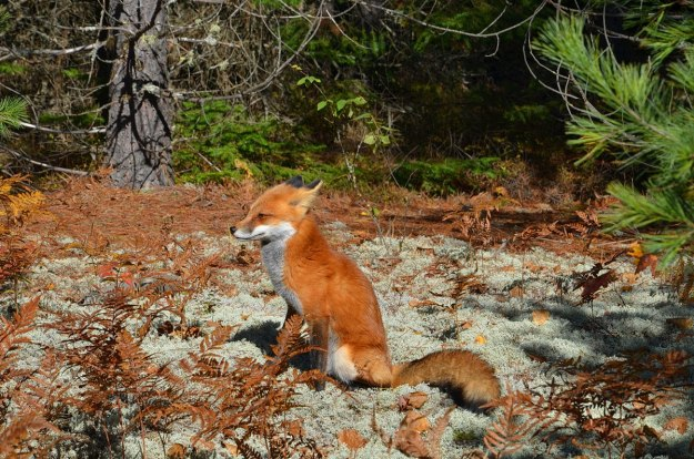 red fox in algonquin park - fall of 2014 - pic 7