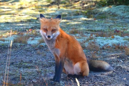 red, fox, algonquin park, wildlife, photography, wilderness, animal