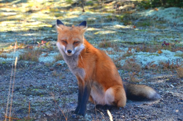 red fox in algonquin park - fall of 2014 - pic 8