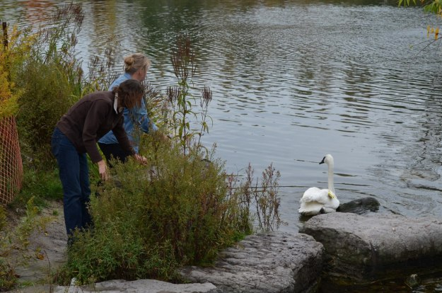 trumpeter swan released from carrying box_milliken park_toronto