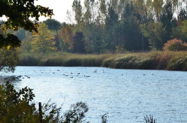 trumpeter swans at milliken park - toronto 2
