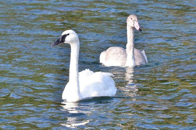 trumpeter swans at milliken park - toronto 3