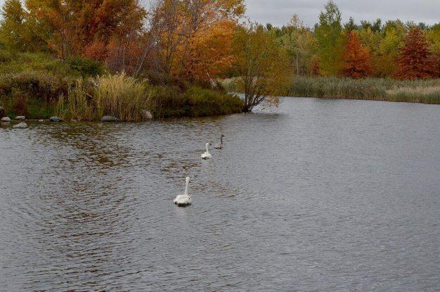trumpeter swans at milliken park - toronto 7