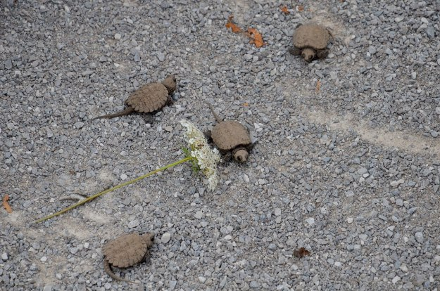 4 baby snapping turtles - aurora - ontario 3