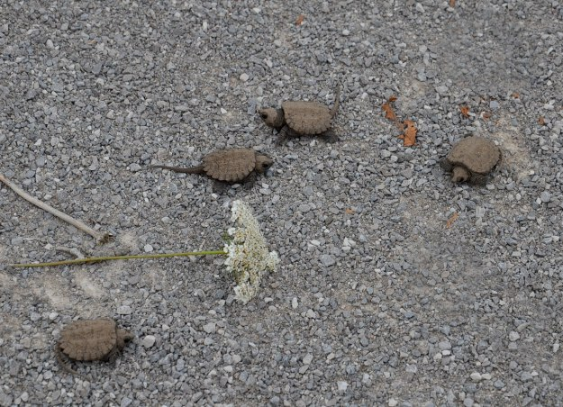 4 baby snapping turtles - aurora - ontario